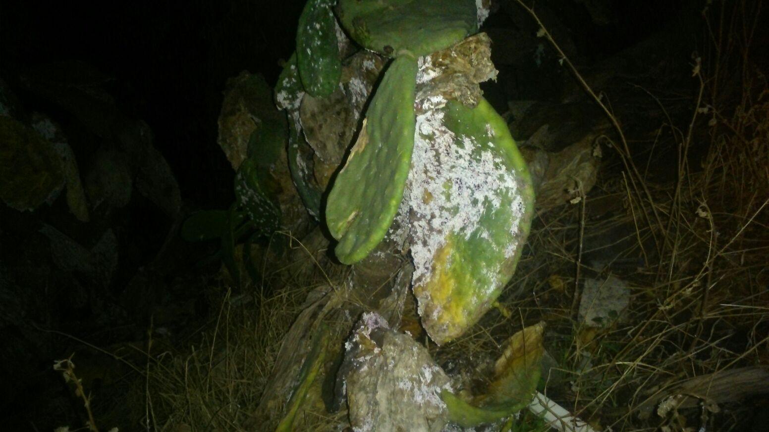 Chumbera afectada de la famosa cochinilla/A.J.García